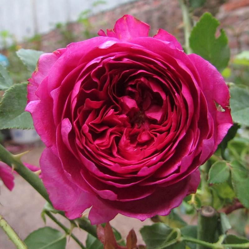 hoa hồng đỏ ngoại Autumn Rouge