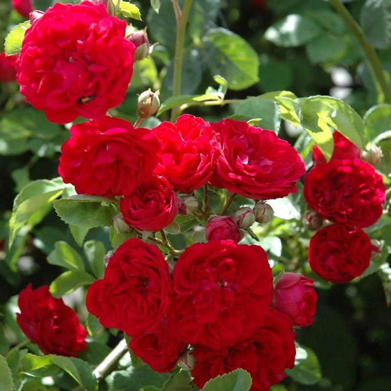 hoa hồng đỏ ngoại rực rỡ