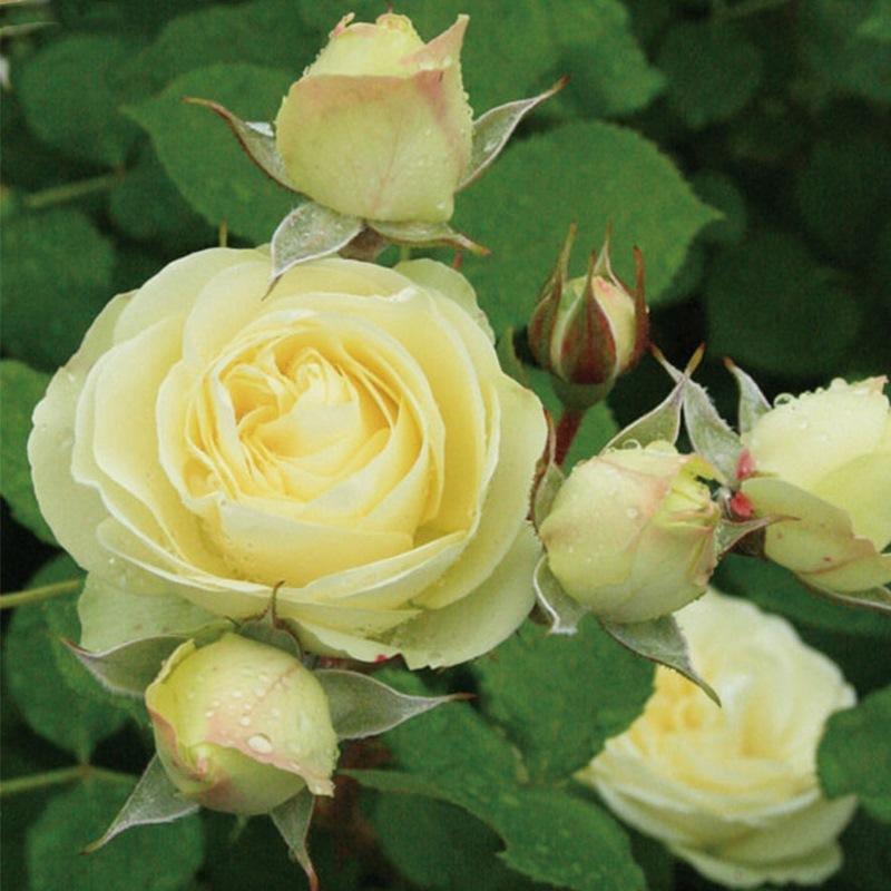hoa hồng Creamy Eden rose
