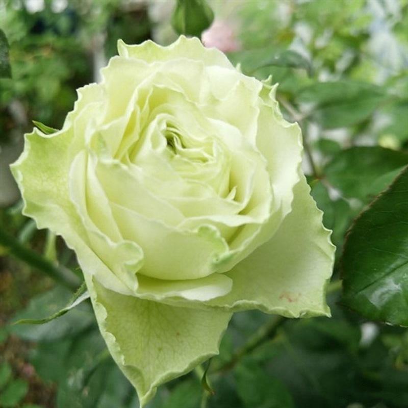 hoa hồng xanh bơ Wakana rose