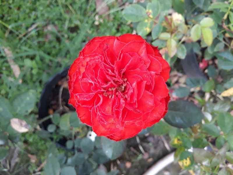 đóa hoa hồng Pháp đỏ