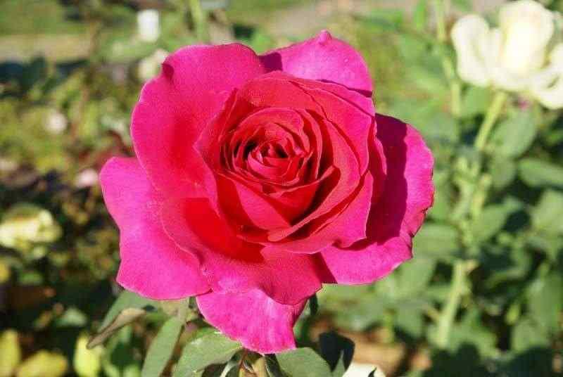 Hoa hồng Rina Hugo rose
