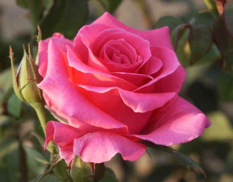 Sắc đỏ dịu dàng của hoa hồng Pháp