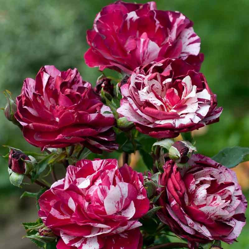 hoa hồng đỏ trắng Pháp