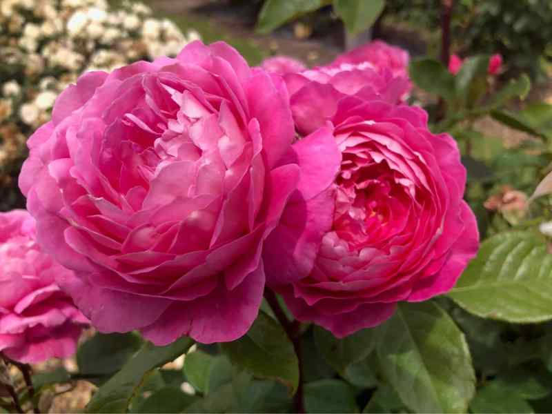 Hoa hồng Madame Delbard rose