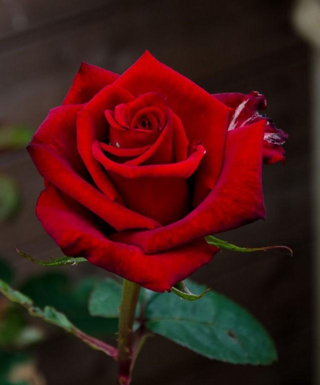 Bông hoa hồng đỏ tươi khoe sắc