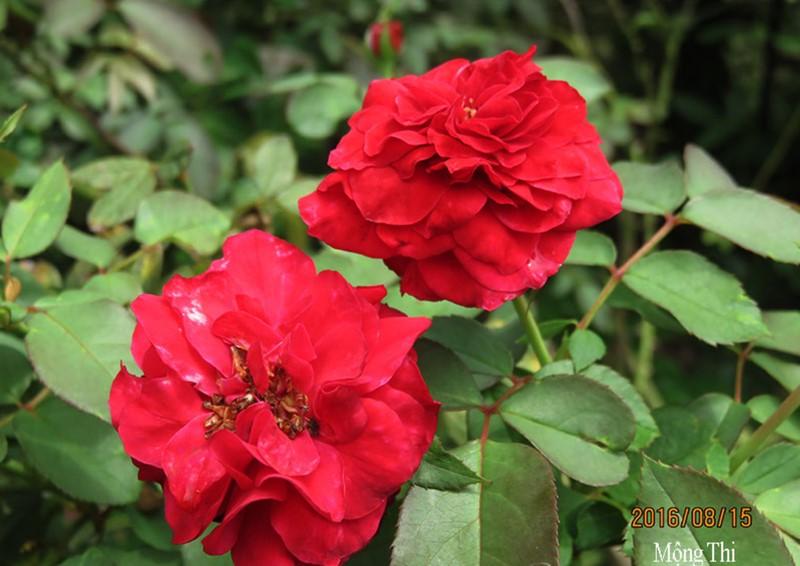 Hoa hồng Mộng Thi khoe sắc