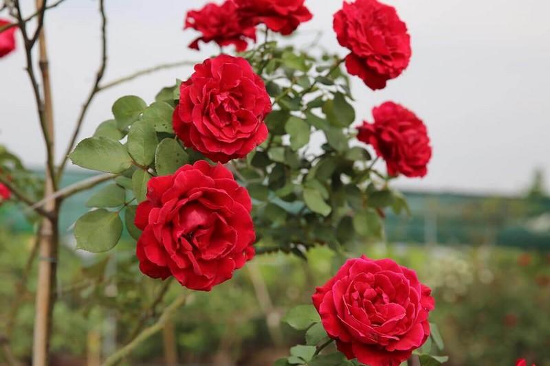 Hoa hồng Hải Phòng mang vẻ đẹp cổ điển