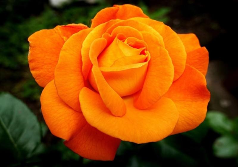 Hoa hồng Tree Rose Charisma