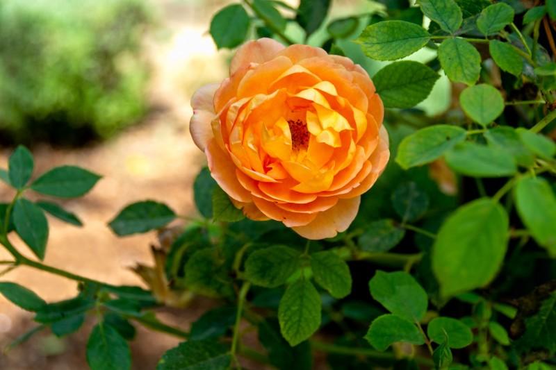 hoa hồng cam được trồng tại Đà Lạt