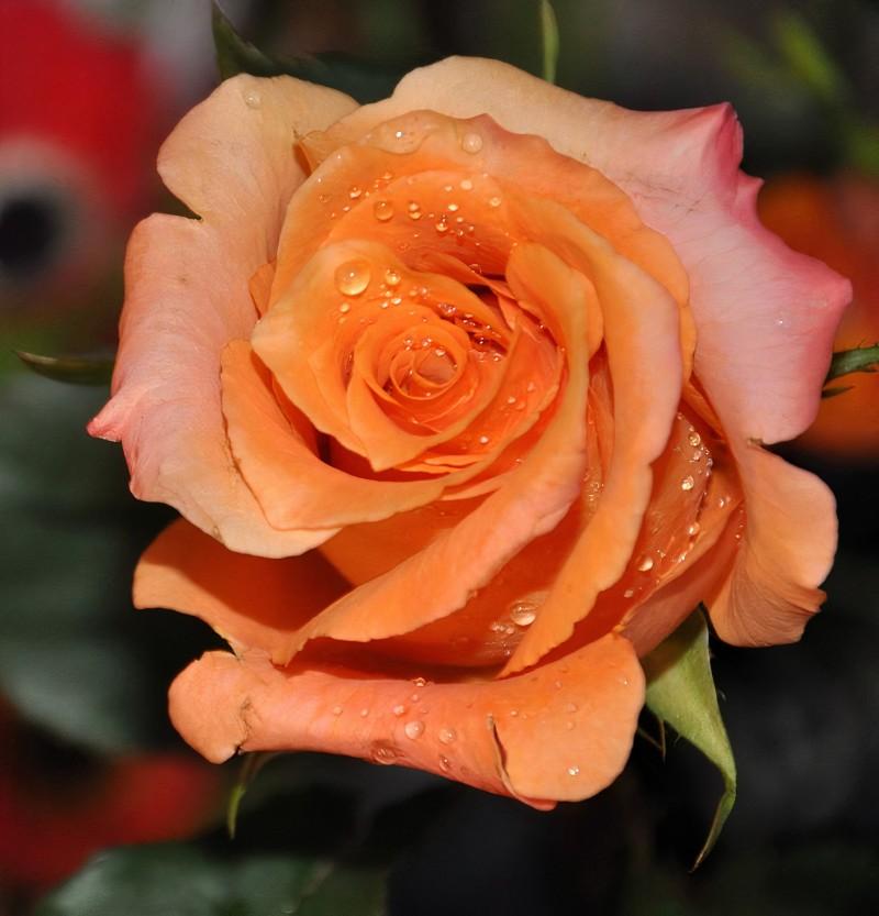 Hoa hồng màu cam đào đẹp quyến rũ