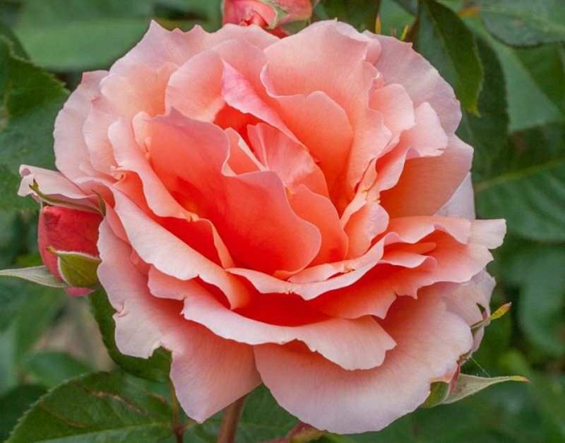Giống hoa hồng cam của Pháp