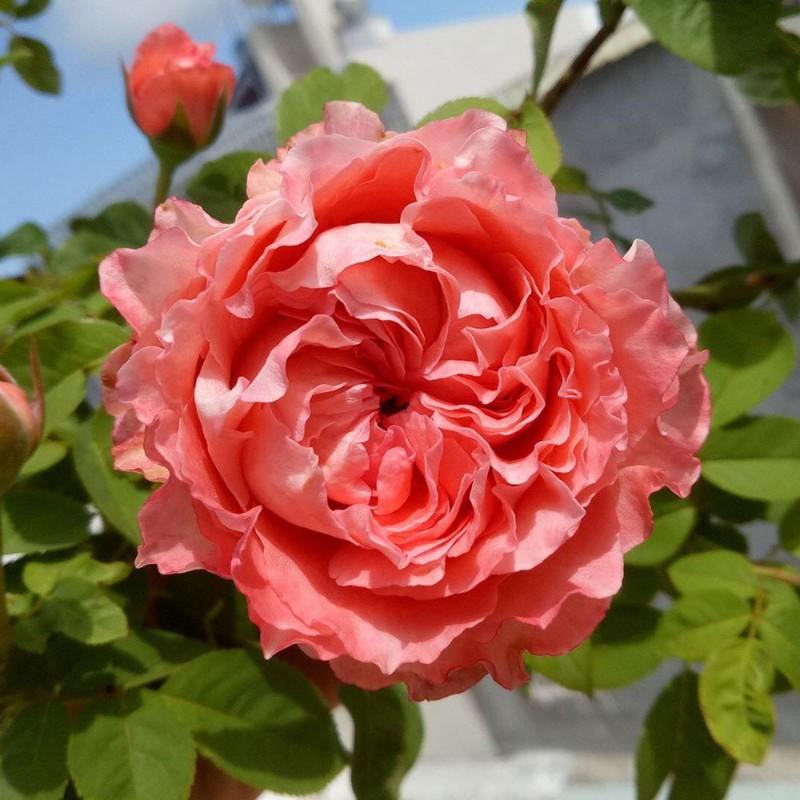 Hoa hồng màu cam của Nhật 9