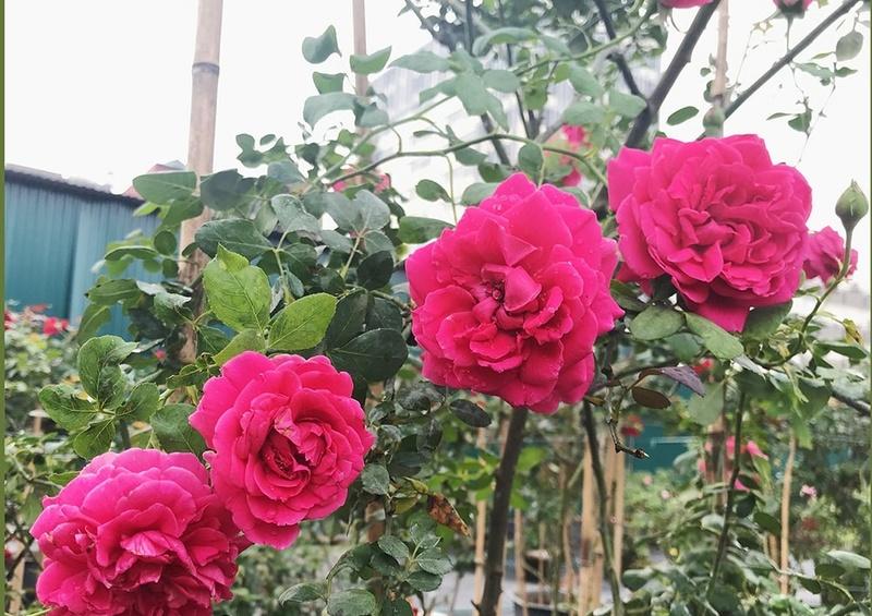 Hoa hồng màu cánh sen cổ Hải Phòng đột biến
