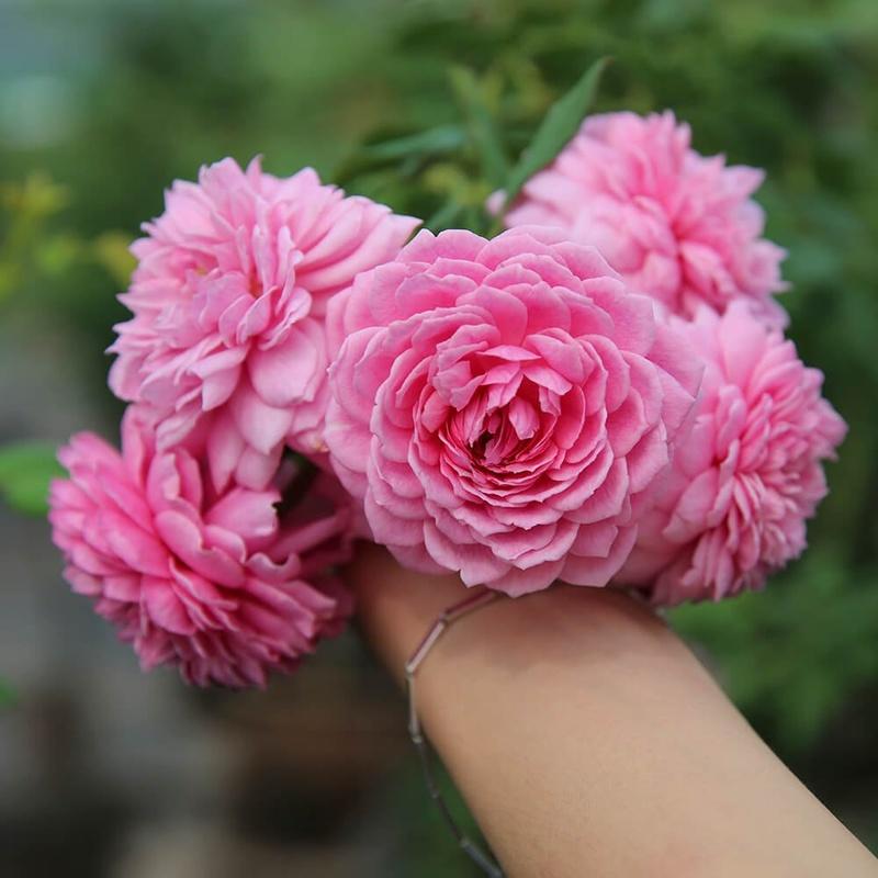 hoa hồng màu cánh sen Hunting Rose