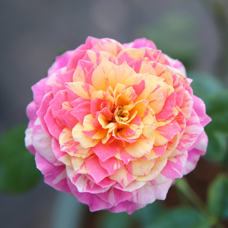 hoa hồng màu cánh sen Claude Monet