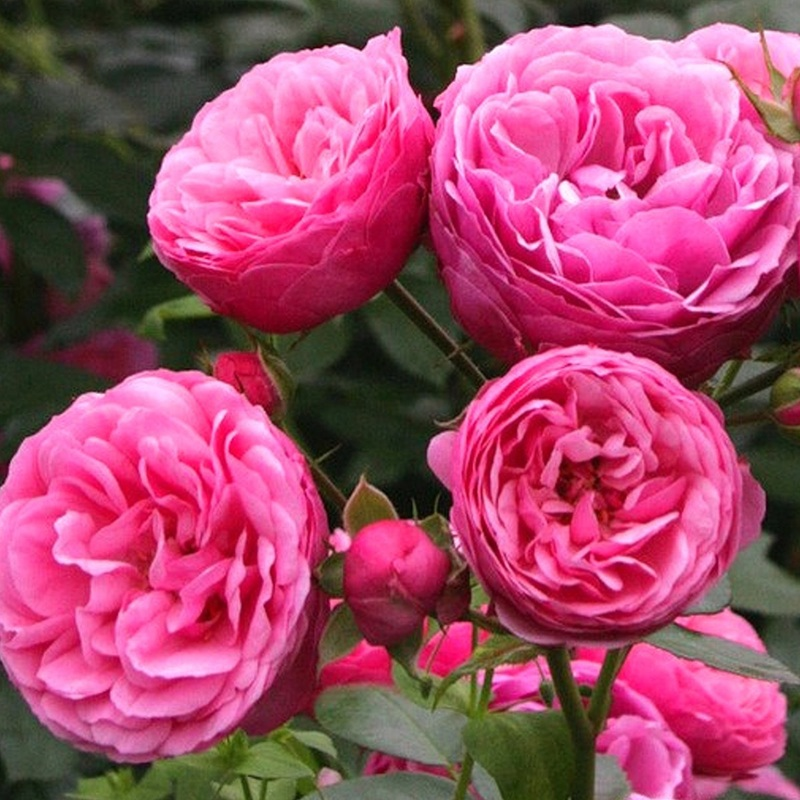 hoa hồng Leo For Your Home màu cánh sen