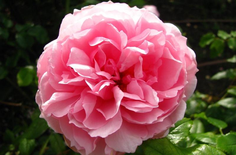 Hoa hồng Wedgwood Rose màu cánh sen