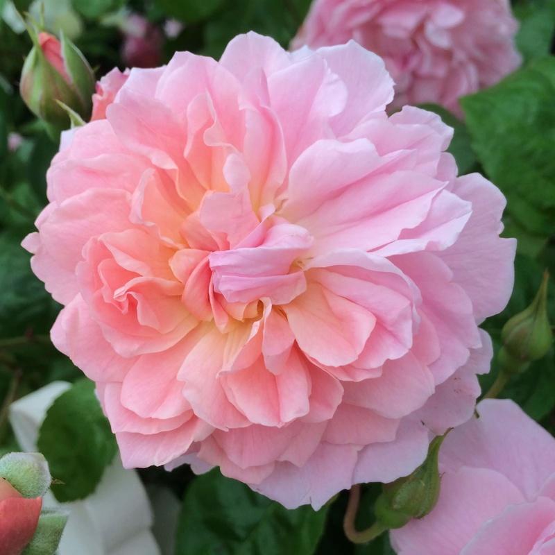 hoa hồng màu cánh sen Strawberry Hill