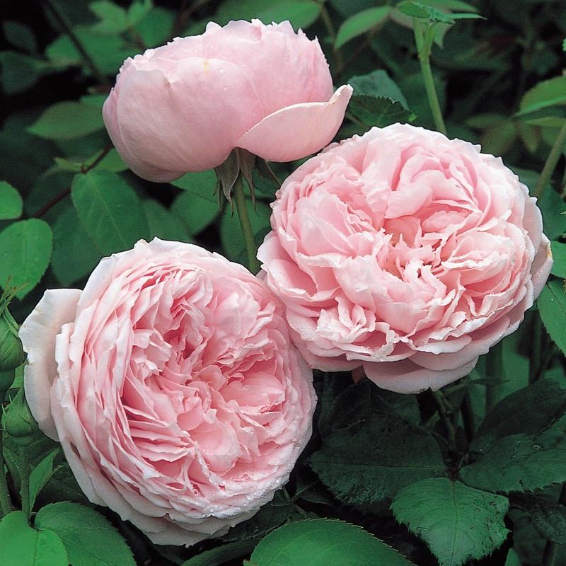 hoa hồng màu cánh sen Spirit of Freedom