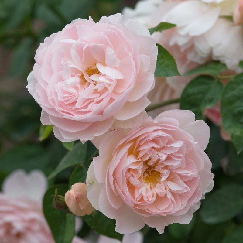 hoa hồng màu cánh sen Gentle Hermione