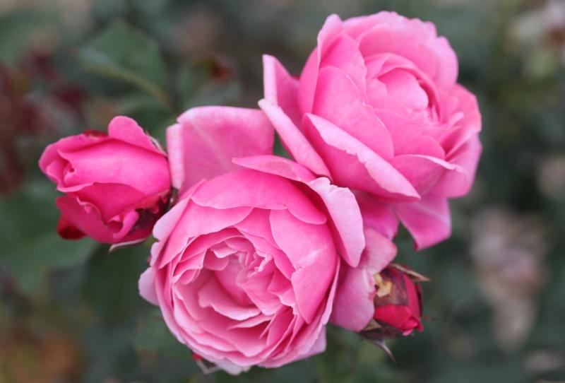 hoa hồng màu cánh sen Soeur Emmanuelle