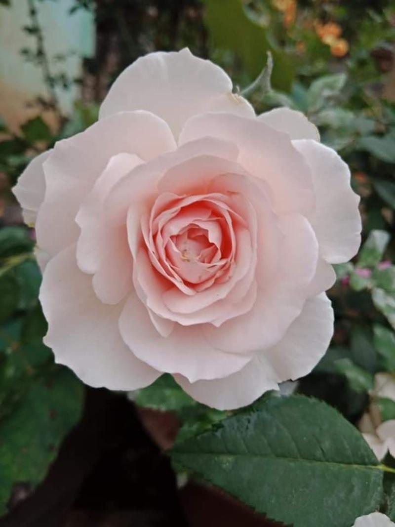hoa hồng màu cánh sen Misaki Nhật Bản
