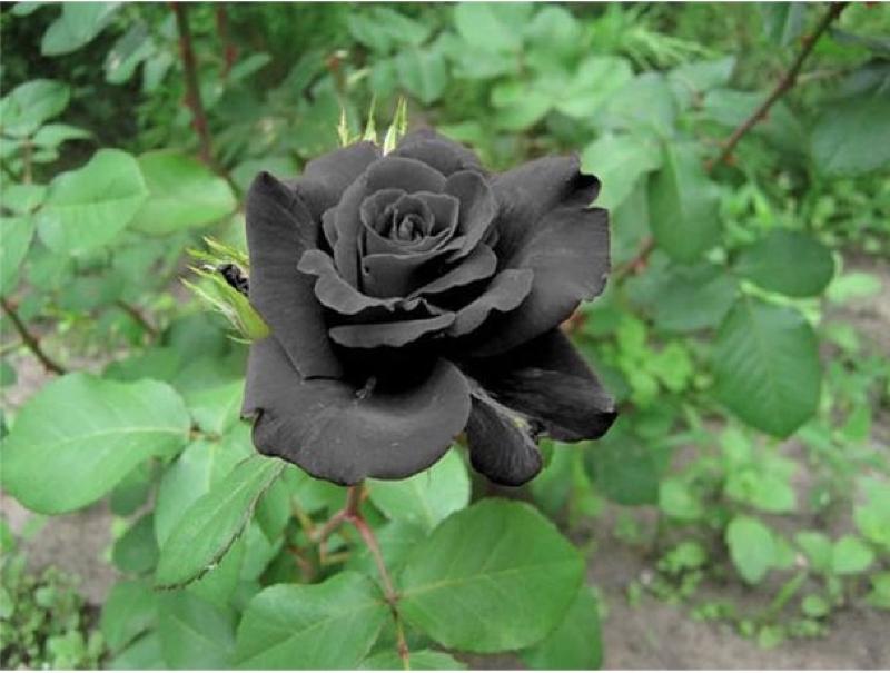 hoa hồng đen nhiều ý nghĩa