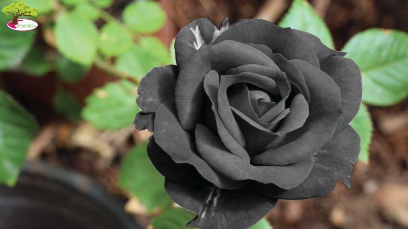 hoa hồng thổ nhĩ kỳ