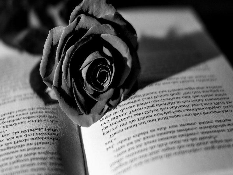 hoa hồng đen gắn với nhiều câu chuyện