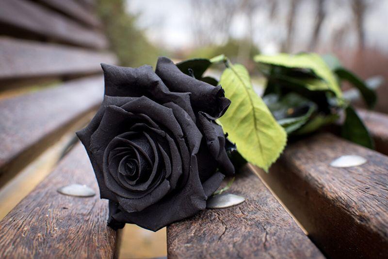 hoa hồng đen tại hà lan