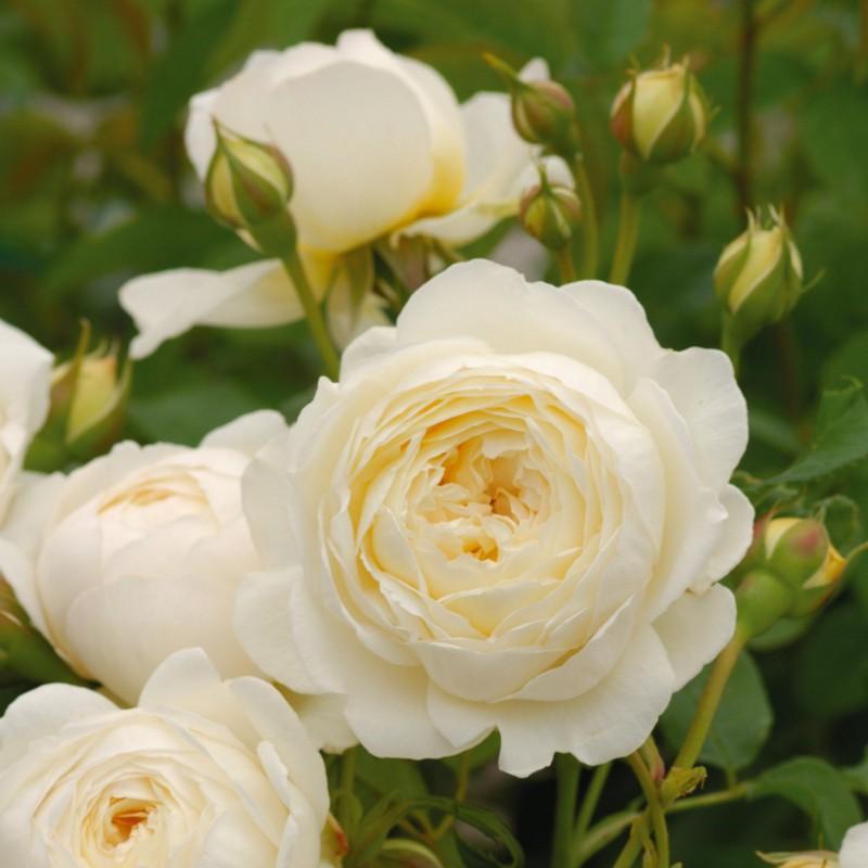 Claire Austin loài hoa hồng tuyệt đẹp