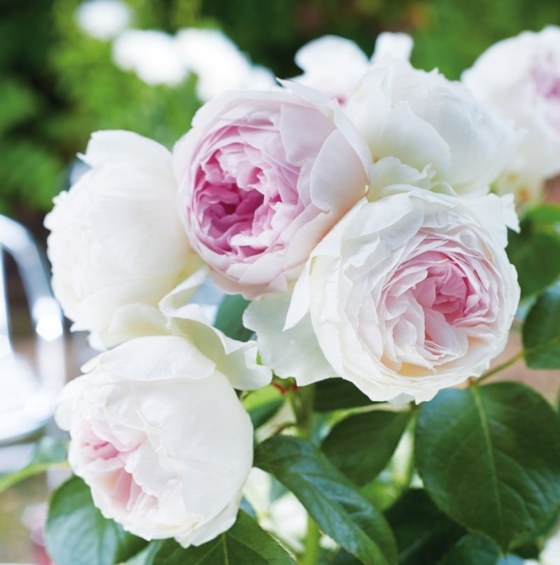 Hoa hồng mang một mùi hương quyến rũ