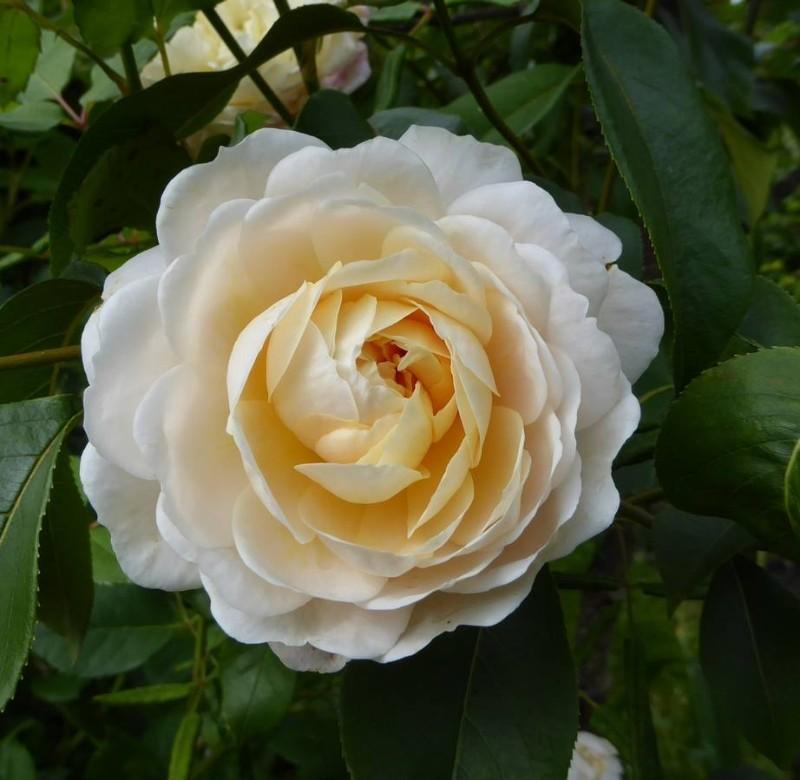 hoa hồng màu kem khoe sắc dưới nắng