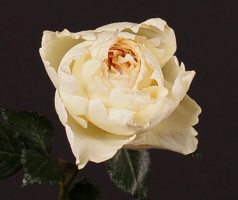 Hoa hồng Cream Yves Piaget