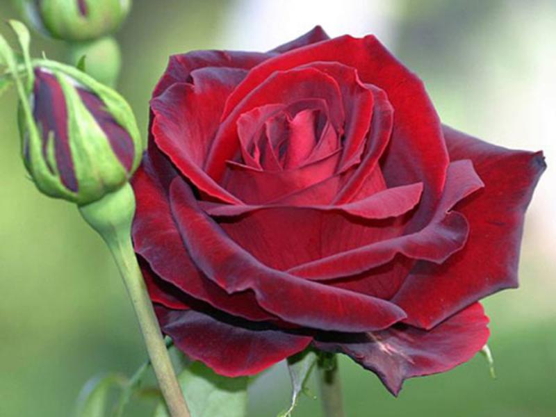 hoa hồng nhung đỏ