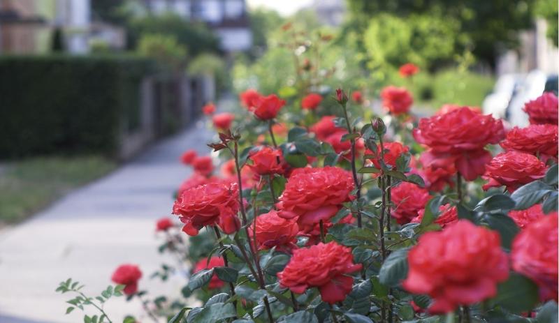 khóm hoa hồng nhung