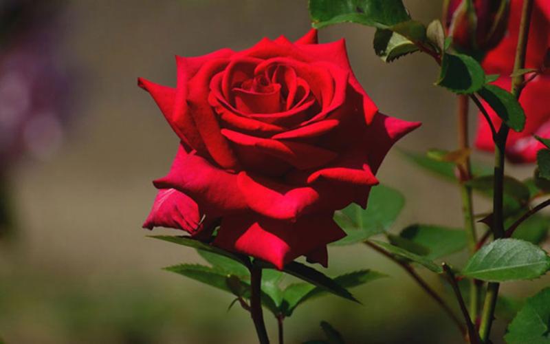 đóa hồng nhung đỏ thắm