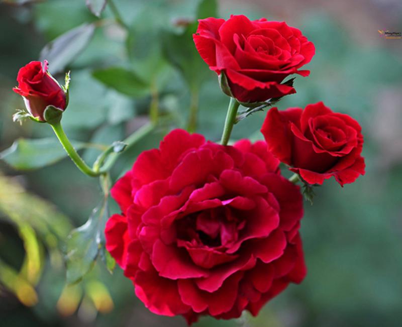 hoa hồng nhung mang nhiều ý nghĩa