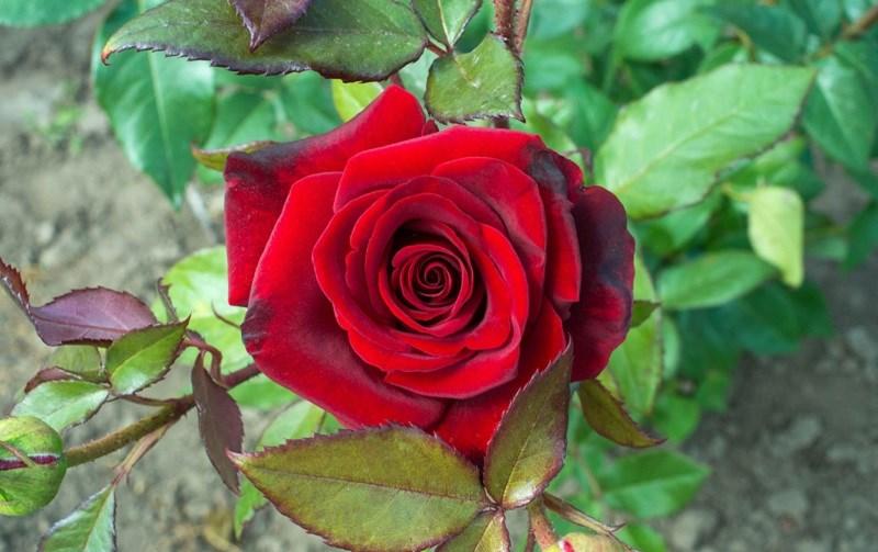 hoa hồng nhung có giá khá cao