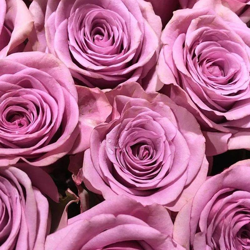 ý nghĩa của hoa hồng màu tím