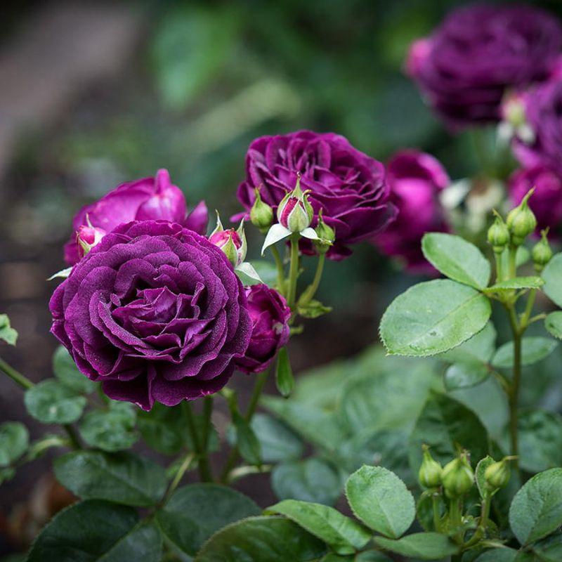 khóm hoa hồng màu tím