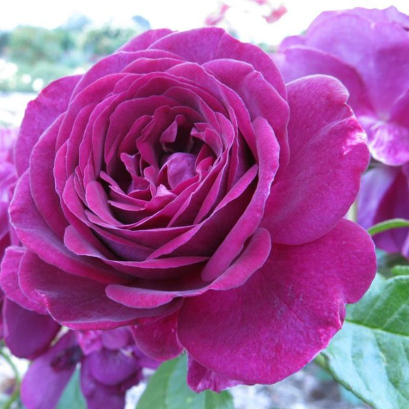 giống hoa hồng tím twilight zone rose