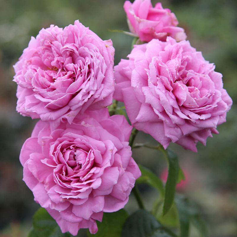 đóa hoa màu hồng tím