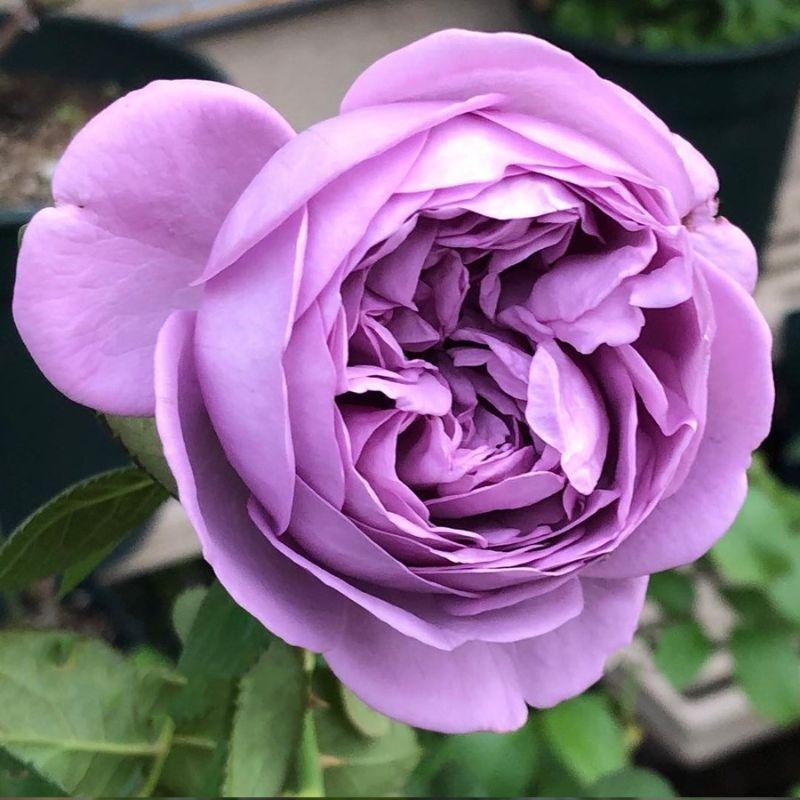 Hoa hồng tím Kinda Blue Rose
