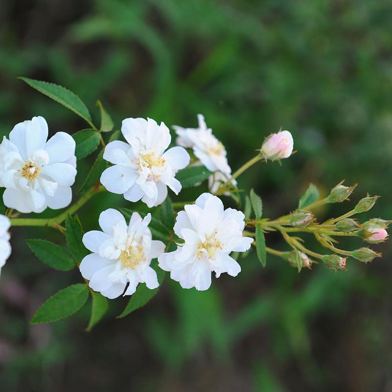 hoa hồng màu trắng Snow Goose rose