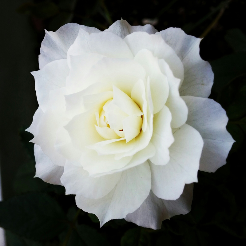hoa hồng Nhật màu trắng kem Shizuku Rose