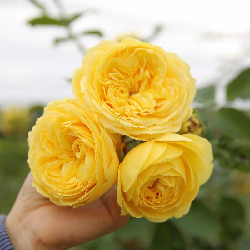 3 bông hồng Catalina Rose màu vàng chanh