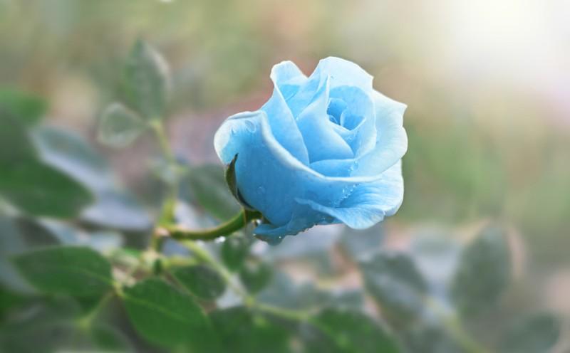 Cành hoa hồng màu xanh