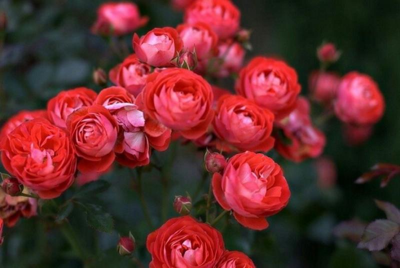 khóm hoa hồng đỏ